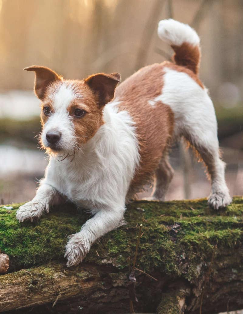 ein junger und gesunder hund beim spielen auf einem baumstamm im wald